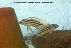 """Julidochromis regani Kipili 1"""""""