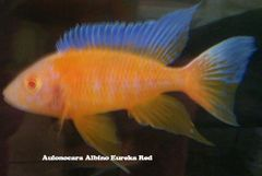 Aulonocara Eureka Albino juvenile