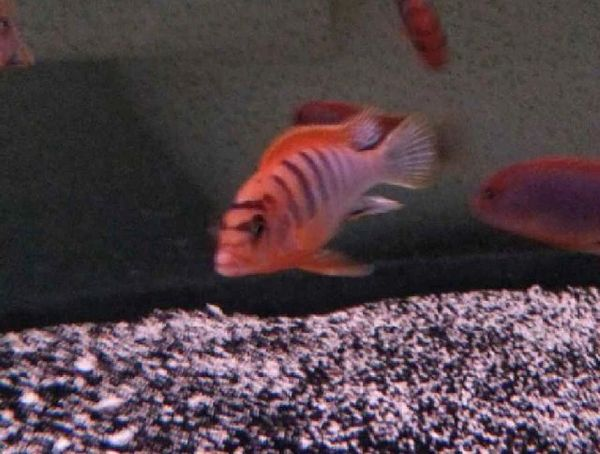 Labidochromis Hongi Super Red