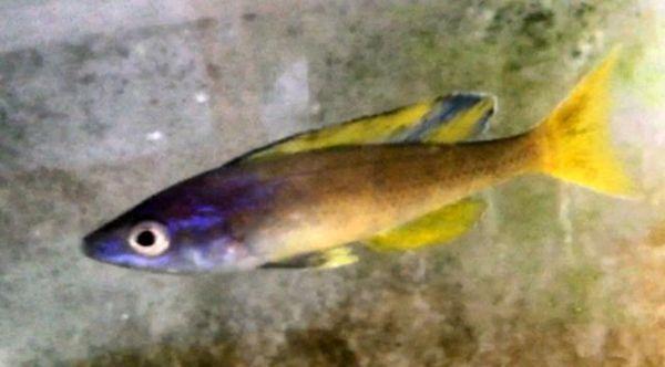 Cyprichromis sp. jumbo Kitumba