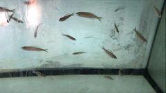 Cyprichromis Speckleback Moba