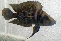 Altolamprologus calvus Black Moliro