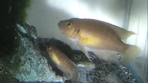 Lamprologus brevis Moba - Wild Pair
