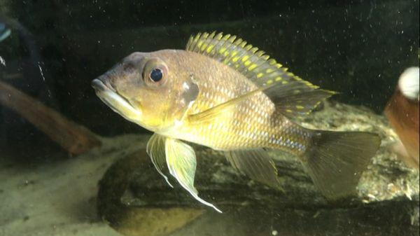 Gnathochromis permaxillaris - Juvenile