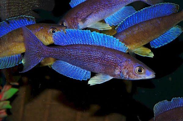 Cyprichromis microlepidotus Luagala juveniles F-1