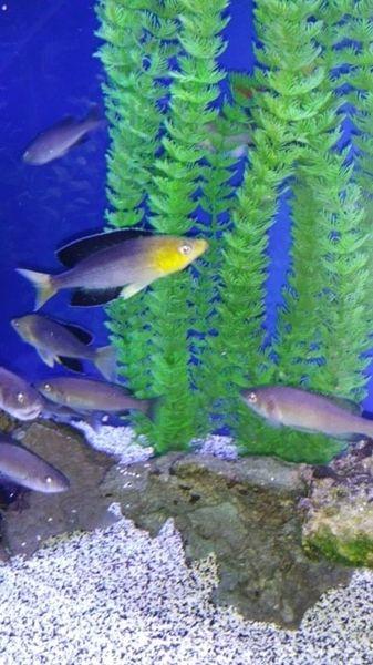 Cyprichromis Jumbo Yellowhead Nkondwe