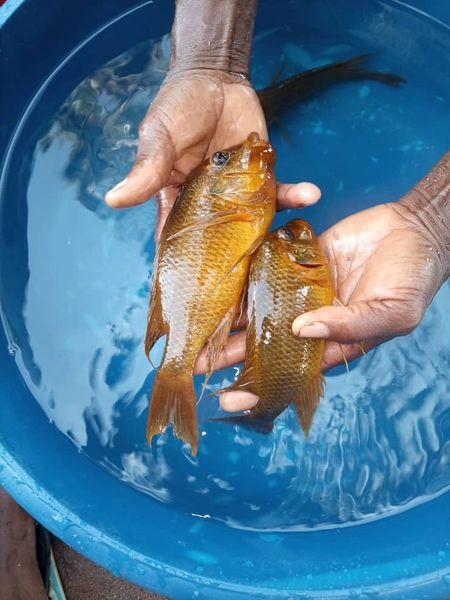 Petrochromis moshi Mahale Box of 6