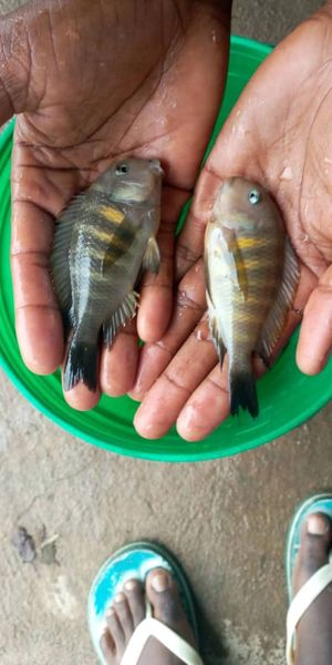 Tropheus Kipili (Nkondwe) BOX OF 24
