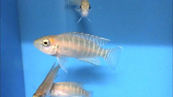 Neolamprologus calliurus juvenile