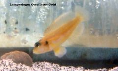 Lamp Ocellatus Gold - juvenile