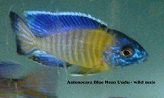 Aulonocara Blue Neon - juveniles