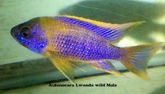 Aulonocara Lwanda - Wild Male