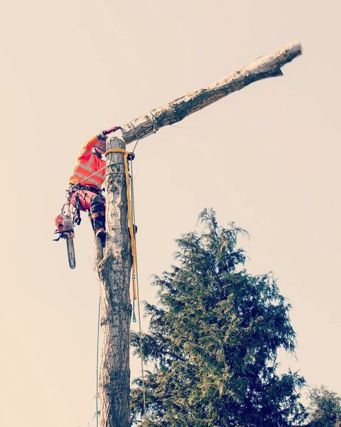 Safely rigging down this Lombardy Poplar tree.