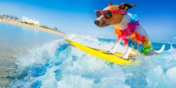Dog surfing on vacation.