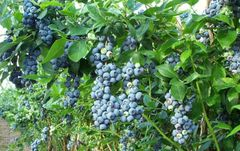 Blueberry, Bluecrop Northern Highbush