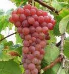 Grape, Canadice