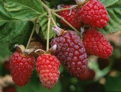 Raspberry, Willamette Red