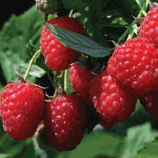Raspberry, Heritage