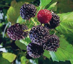 Raspberry, Jewel Black