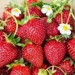 Strawberry Ozark Beauty #1 10 plants per bundle