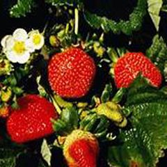 Strawberry Allstar #1 10 plants per bundle