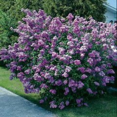 "Lilac Old-fashioned Purple 18"" Syringa vulgaris"