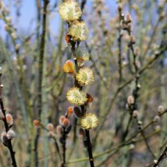 "Pussy Willow 18"" Salix discolor"