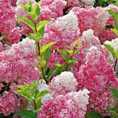 "Hydrangea Vanilla Strawberry 6"" Hydrangea paniculata 'Renhy'"