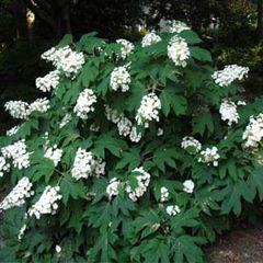 Hydrangea Oakleaf #1 Hydrangea quercifolia