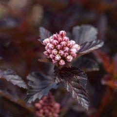 "Ninebark Fireside 18"" Physocarpus op"