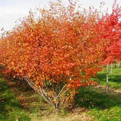 Serviceberry Autumn Brilliance 4' Clump Amelanchier