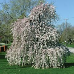 Weeping Cherry Snow Fountains 5' Prunus 'Snofozam