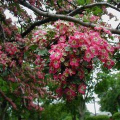 Hawthorn, Crimson Cloud 6' Crat laevigata