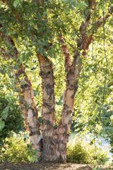 Birch Heritage 4' clump Betula nigra