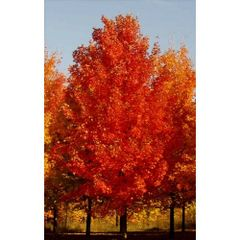 "Maple Sugar Fall Fiesta 5' Acer saccharum ""Bailsta"""