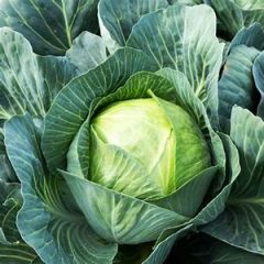 Stonehead Cabbage 6 pack