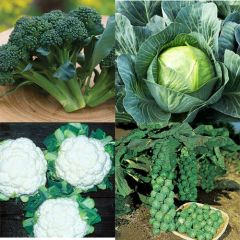 Broccoli/Cabbage/Cauliflower/Brussel Sprouts Multi 6 Pack