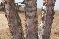 Birch River Dura Heat Betula nigra 5' Single Stem