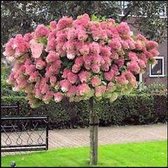 "Hydrangea Vanilla Strawberry Tree 18"" Hydrangea paniculata"
