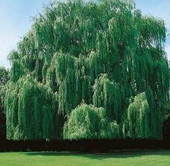"""Willow Weeping, Niobe Salix alba Tristis 1"""""""