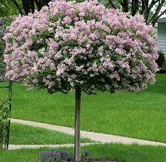 """Lilac Dwarf Korean Tree 1 year 4' 18"""" Syringa meyeri 'Palbin'"""