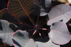 "Smokebush, Purple Supreme Cotinus cog 6"""