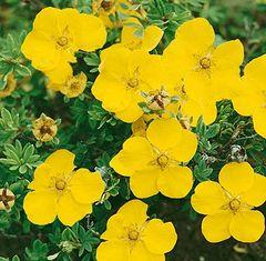 "Potentilla Gold Drop Yellow fruticosa 18"""