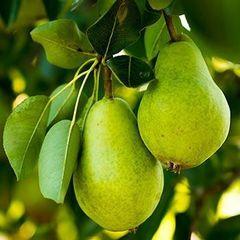 """Pear Anjou Tree 7/8"""""""