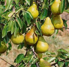 """Pear Bartlett Tree 1"""""""