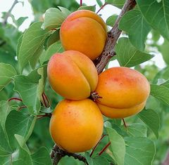 """Apricot Tree Pioneer Chinese 7/8"""""""