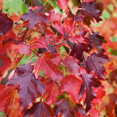 Maple Amur 4' whip Acer ginnala