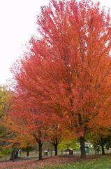 Maple Tree Autumn Blaze Acer freemanii