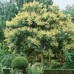 Golden Raintree Koelruteria pan Golden Candle Tree 5'