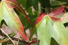Sweetgum Tree Moraine Liquidambar 6'
